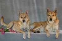California Carolina Dogs